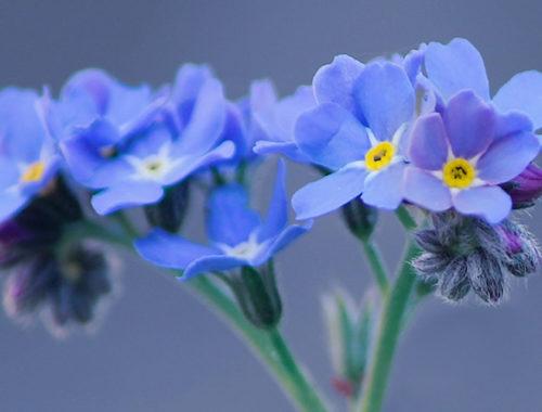 Flores pequenas azuis.