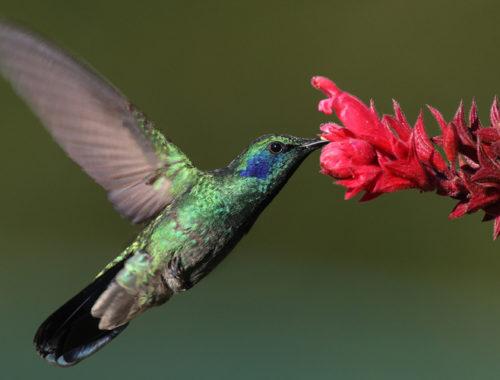 Beija-flor de lado sugando o néctar de uma flor avermelhada.