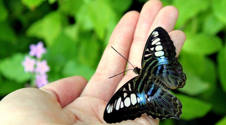 Uma mão com uma borboleta azul, branca e preta pousada.