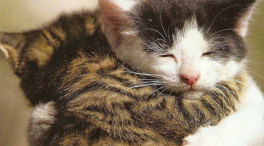 Dois gatinhos, um malhado outro branco com a testa marrom, se abraçando.