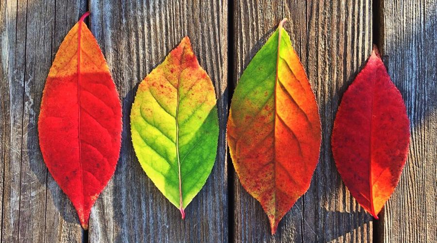 Quatro folhas verdes e vermelhas dispostas uma do lado da outra sob uma superfície de madeira.